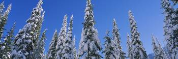 Low angle view of pine trees covered with snow