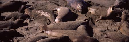 Elephant seals on the beach San Luis Obispo Count