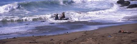 Elephant seals in the sea San Luis Obispo County