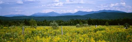 Goldenrod flowers in field with mountains in the