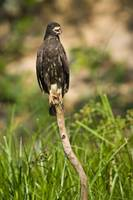 Snail kite Rostrhamus sociabilis perching on a tr
