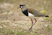 Close up of a Southern lapwing Vanellus chilensis