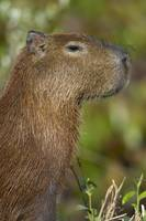 Close up of a Capybara Hydrochoerus hydrochaeris