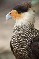Close up of a Crested caracara Polyborus plancus