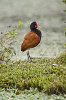 Wattled jacana Jacana jacana on grass Three Broth