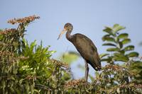 Limpkin Aramus guarauna perching on a tree Three