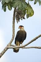 Crested caracara Caracara cheriway perching on a