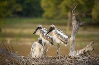 Jabiru stork Jabiru mycteria chicks in a nest Thr