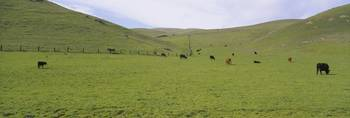 Herd of cattle grazing in a field
