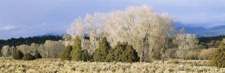 Cottonwood trees in a field