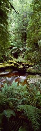 Nelson River Forest Reserve Queenstown Tasmania A