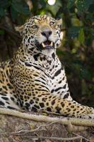 Close up of a Jaguar Panthera onca snarling Three