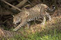 Jaguar Panthera onca foraging in a forest Three B