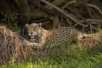 Jaguar Panthera onca resting on grass Three Broth