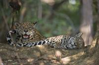 Jaguars Panthera onca resting in a forest Three B