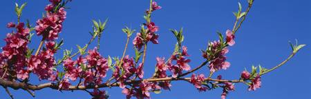 Peach Blossoms UT