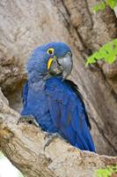 Close up of a Hyacinth macaw Anodorhynchus hyacin