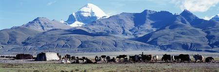 Herd of yak and tents in front of mountains