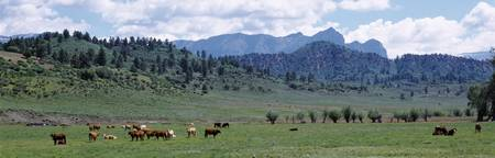 Cattle grazing US 80 at Chromo Colorado