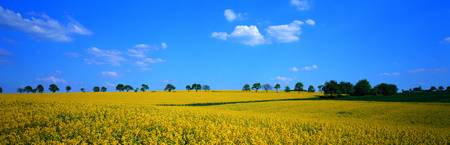 Rape Field Germany