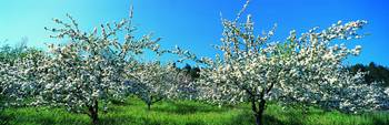 Apple Blossom Trees Norway