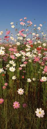 Mexican asters Cosmos bipinnatus blooming in a fi