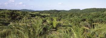 Lala palms in field Maputaland Coastal Forest Mos