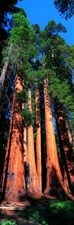 Giant Sequoias CA