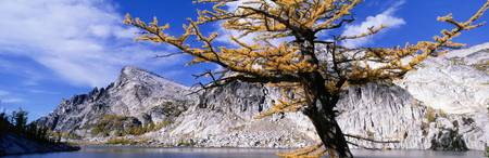 Close-up of a larch tree near a lake