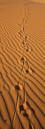 Animal tracks on sand dune Namibia