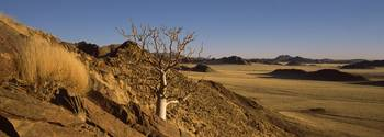 Commiphora spp tree in a desert Kulala Wilderness