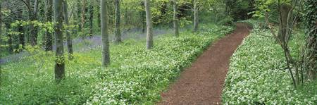 Bluebells and garlic along footpath in a forest