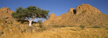 Commiphora spp tree in a desert Spitzkoppe Namib
