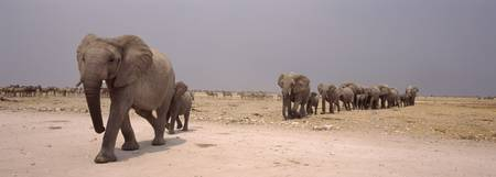 Herd of female African elephants Loxodonta africa