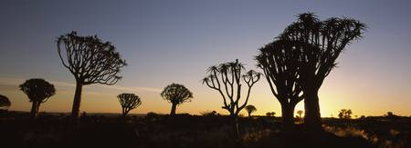 Silhouette of Quiver trees Aloe dichotoma at suns