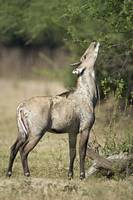 Nilgai Boselaphus tragocamelus feeding on tree le