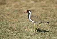 Close up of a Red Wattled lapwing Vanellus indicu