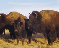 Close-up of buffalos and a calf