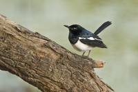 Close up of a Magpie Robin perching on tree Keola