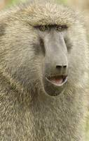 Close-up of an Olive Baboon (Papio Anubis)