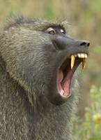 Close-up of an Olive Baboon (Papio Anubis) yawnin