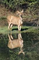 Sambar Cervus unicolor standing at lakeside Keola