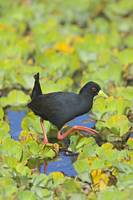Side profile of a Black Crake (Amaurornis Flaviro