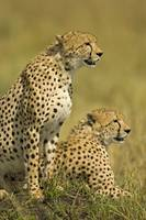 Close-up of two Cheetahs (Acinonyx Jubatus)