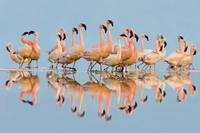 Flock of Lesser Flamingos (Phoenicopterus Minor)