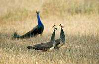 Peacocks with Peahens in a field Bandhavgarh Nati
