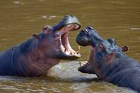 Side profile of two Hippopotamus (Hippoptamus Amp
