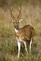 Spotted deer Axis axis in a forest Bandhavgarh Na