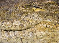 Close-up of a Nile Crocodile (Crocodylus Niloticu