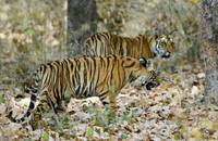 Bengal Tiger Panthera tigris tigris cubs walking